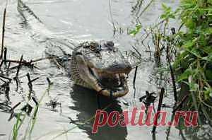 Крокодилья исповедь: хищники-мясоеды иногда едят фрукты - новости экологии на ECOportal