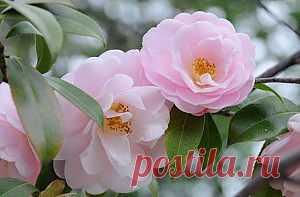 Красивоцветущие домашние растения. Камелия.