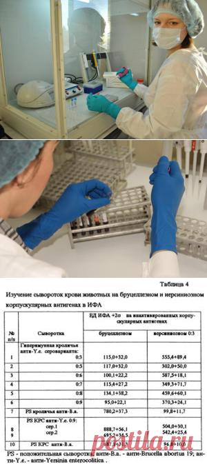 Внедрение новых методов серологической диагностики бруцеллёза животных - БиоКорова