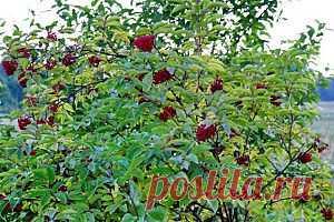Бузина красная-- слабо ядовитое растение
