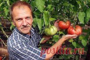 Люблю высокорослые сорта томатов.  Я сажаю по 2 растения, выравнивая верхушки, соединив стебли вместе. Они друг друга поддерживают. Сажаю в траншейки, что бы полив достиг не на 3 см, а пролить глубиной 30 - 35 см. Тогда корневая система будет формироваться на такой глубине, и не будет подвержена весенним похолоданиям и летней жаре. в верхнем слое почвы. Ведь болезни томатов, в основном, провоцируются резкими перепадами температуры.  2 пер