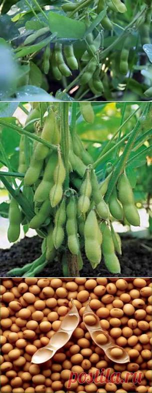 В каких условиях растет соя, посадка на приусадебном участке   Дача - впрок