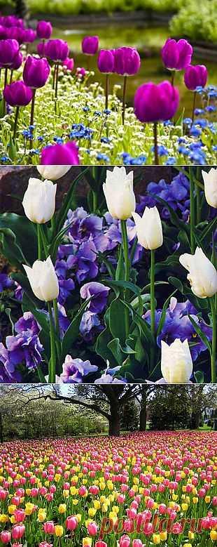 Спутники для тюльпанов. Правильно подобранные спутники, как красивая оправа, лишь усиливают прелесть тюльпанов.