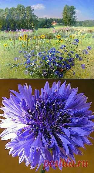 Он – синей небесной сини,милый сердцу василёк. Сорта, размножение и уход.