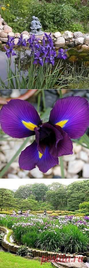 Ирисы в оформлении сада-иридарий.  Ирис – уникальный цветок для оформления, он хорошо смотрится как в массивных посадках, так и в маленьких группах.