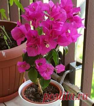 Бугенвиллия Есть вещи, которые заставляют - Моя дача Бугенвиллия Есть вещи, которые заставляют человека замереть от восторга. К ним, несомненно, относятся и соцветия растений из рода бугенвиллея. Необыкновенная пышность и продолжительность цветения принесли этим растениям заслуженную...