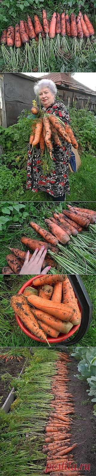 Секреты удобрения моркови