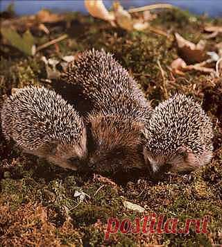Метаморфозы ёжика: http://aquariumistika.mirtesen.ru/blog/43247071708