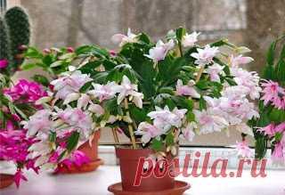 """Секрет роскошного комнатного цветника    Растения нужно хорошо подкармливать, иначе не дождаться ни пышной листвы, ни хорошего цветения. Жесткая """"диета"""", когда растение длительное время испытывает нехватку питательных веществ, обычно прив…"""