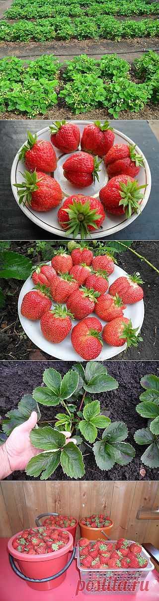 Вкусный Огород: Размножение клубники