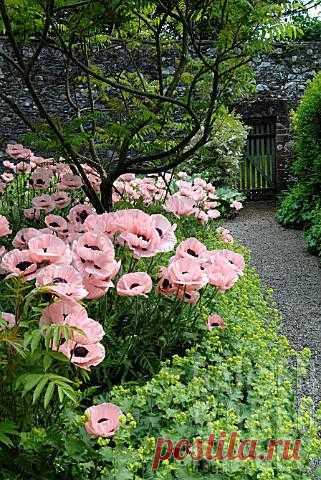 Очаровательные розовые маки