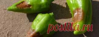 » Отчего гниют плоды…