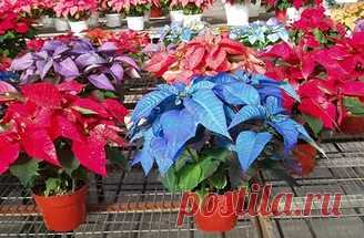 Пуансеттия прекрасная - цветок с ярко-красными листьями