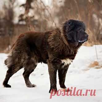 Кавказские овчарки - Гаспар