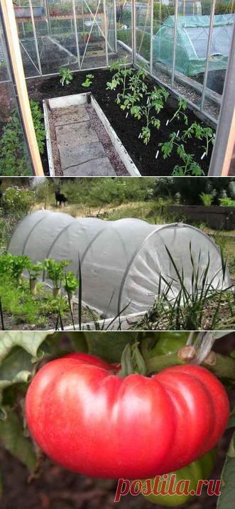 высадка томатов в парник
