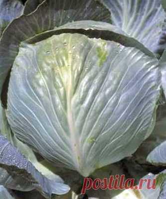 Капуста белокочанная Кронос F1 - 50 штук. Семена капусты оптом по выгодным условиям