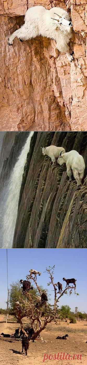 Горные козлы (29 фото) » Клопик.КоМ - сайт любителей животных