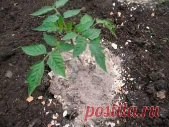Зола для томатов: защита, удобрение, лечение