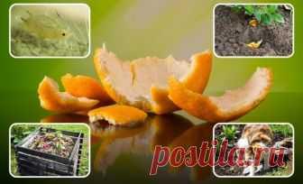 Апельсиновые корки – польза для сада и огорода, особенности применения на даче | Почва и плодородие (Огород.ru)