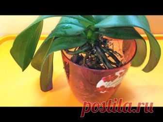 Пересадка орхидеи в домашних условиях видео  пошагово. Пересадка орхидеи фаленопсис после покупки.