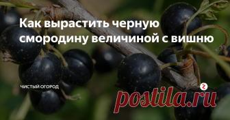 Как вырастить черную смородину величиной с вишню Простой и эффективный способ получить огромный урожай ягод