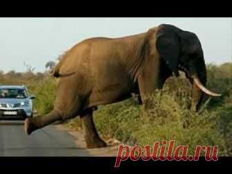 Слон делает йогу на дороге / Моя Планета