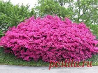 Декоративные кустарники которые цветут все лето