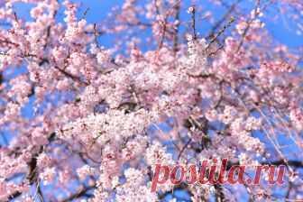 В Китае цветёт вишня 🌸 И вам надо видеть это море из цветов / Surfingbird - мы делаем интернет лучше