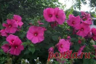Гибискус травянистый, садовый: выращивание и уход