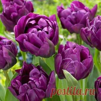Тюльпан Double Purple Peony