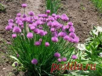 Шнитт-лук: полезная зелень и красивые цветы Шнитт-лук — весьма интересное растение: оно может одновременно рассматриваться и как овощное, поставляющее к столу ранние витамины, и как декоративное, украшающее огород красивыми цветами. Культуру не...