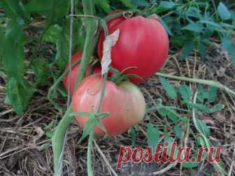 Классический представитель розовых сортов: урожайный томат Фиделио, ухаживать за которым очень просто Красивые плоды сорта Фиделио способны произвести впечатление на любого, даже самого привередливого садовода. Размеры эти томаты имеют очень большие. Вес