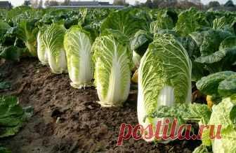 Виды капусты и ее сорта: характеристики, описание, особенности выращивания некоторых разновидностей