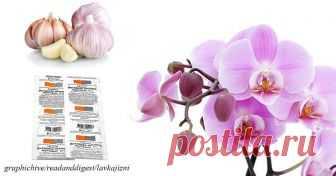"""Чеснок – лекарство для орхидей. Результат будет уже через 14 дней Лучше профессиональных средств.  Обычно чеснок применяют в кулинарии или для профилактики простудных заболеваний. Оказывается, чеснок спасает от болезнетворных бактерий не только людей, но и растения!  Есть эффективный способ """"оживить"""" комнатные растения, вернуть им пышный цвет.  Для этого вам"""