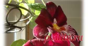 Мильтониопсис: уход, пересадка и цветение в домашних условиях Мильтониопсис: уход, пересадка и  повторное цветение в домашних условиях. Мой рыцарь