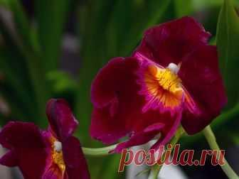 Орхидея мильтония – уход в домашних условиях, размножение и пересадка мильтонии, почему желтеет мильтония