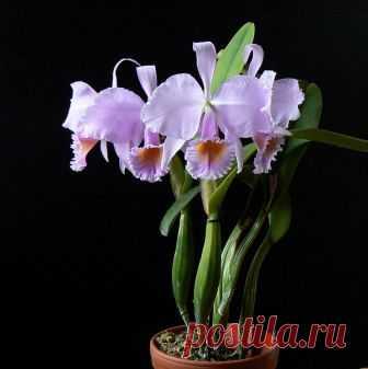 Просмотр темы - Орхидеи Говоруши