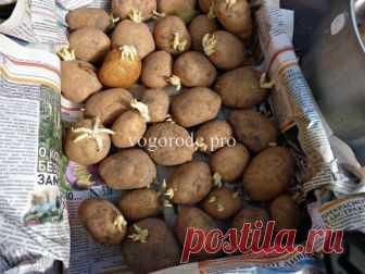 Ведро картофеля с куста пятой репродукции? Чернеют ростки у картофеля.