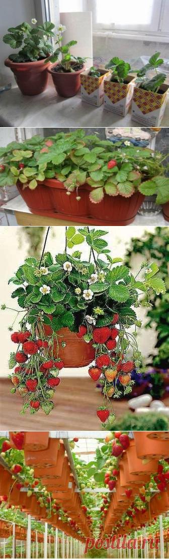 Как вырастить клубнику в горшке на подоконнике