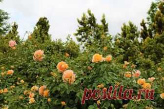 Как посадить саженцы садовой розы
