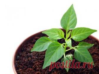 Советы бывалых дачников: выращивание рассады перца