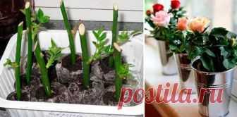 Вот как надо сажать уже срезанные розы, чтобы они росли! Букет из роз – украшение любого помещения. Так хочется, чтобы срезанные растения оставались свежими как можно дольше!   Поэтому сегодня мы подготовили для вас советы флористов по уходу за цветами дома. Чтобы цветы продолжали расти и цвести, специалисты предлагают укоренять цветы в домашних услови