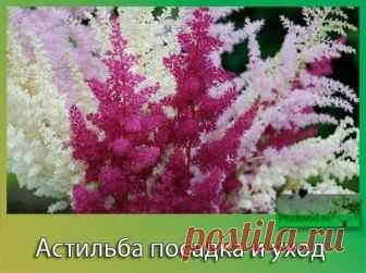 Шикарная астильба – хитрости и секреты выращивания | Все о цветоводстве | Яндекс Дзен
