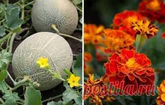 26 растений, которые всегда должны расти рядом на одной грядке | Лунные Новости