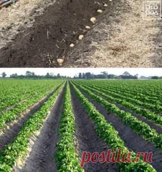 12 способов посадки картофеля: традиционные и новые | Картофель (Огород.ru)