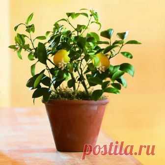 9 экзотических фруктов в горшке 1. Из косточек в цитрусыМандарин, апельсин и гибрид их клементин, лимон и лайм, грейпфрут, помело (шеддок) и их гибрид свити (оробланко), минеола (разновидность танжело — гибрида мандарина и грейпфрут…