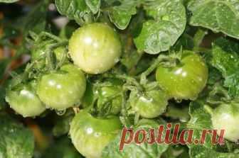 Чем обработать и подкормить томаты в период завязывания и наливания плодов? | Вперед✔огород | Яндекс Дзен