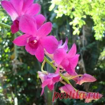 Как выглядят орхидеи рода Дендробиум, какие бывают гибриды этих растений, как за ними ухаживать |