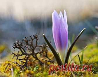 Красавица ичудовище — National Geographic Россия Разноцветная брандушка илишайник цетрария степная.