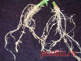 Nematode on a site — who it and how to fight against it?